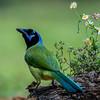 NAb7246 Green Jay (Cyanocorax luxosus), Edinburg, TX