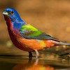 NAB7264 Painted Bunting (Passerina ciris), Male, Edinburg, TX
