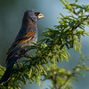 NAb7191 Blue Grosbeak (Passerina caerulea)