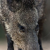 NAa476 Collared Peccary (Pecari tajacu), Edinburg, TX