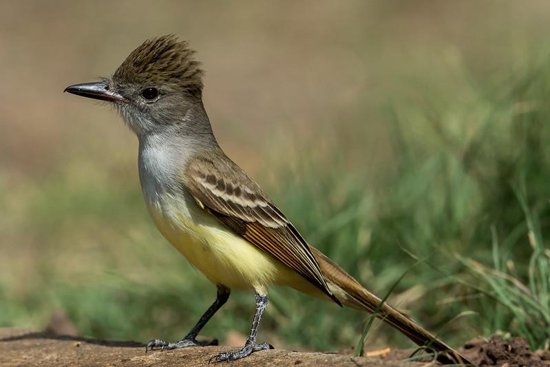 NAb7209 Brown-crested Flycatcher (Myiarchus tyrannulus), Edinburg, TX