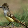 NAb7209 Brown-crested Flycatcher (Myiarchus tyrannulus), Edinburg, TX