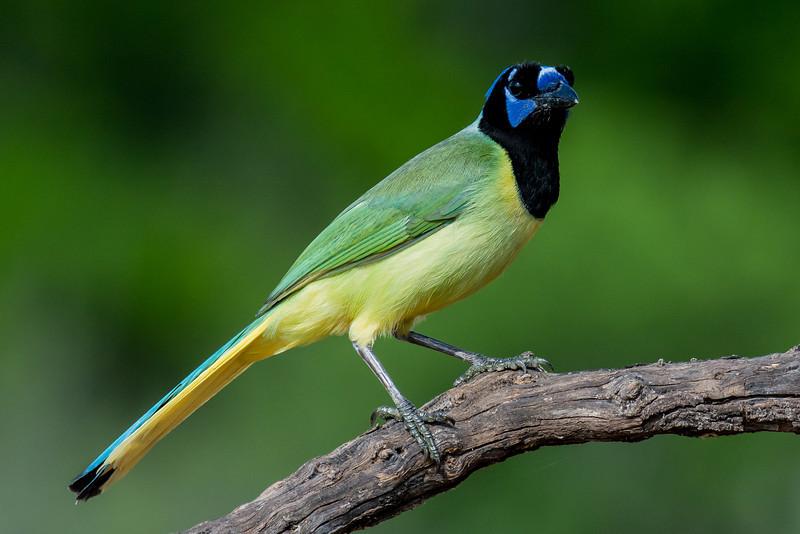 NAb7224 Green Jay (Cyanocorax luxosus), Edinburg, TX