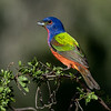 NAB7274 Painted Bunting (Passerina ciris), Male, Edinburg, TX