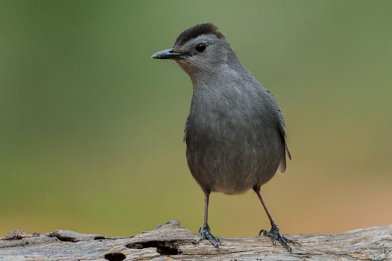 NAb7284 Gray Catbird (Dumetella carolinensis), Edinburg, TX