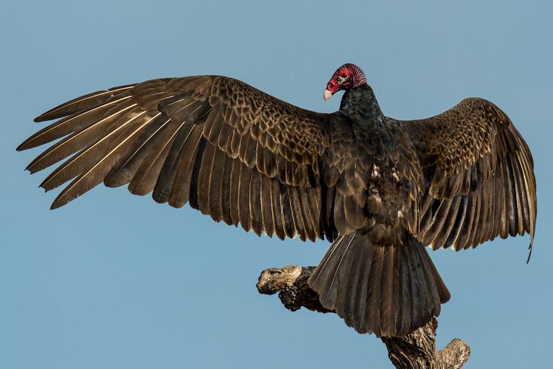 NAb7218 Turkey Vulture (Cathartes aura), Edinburg, TX