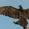 NAb7218 Turkey Vulture (Cathartes aura), Edinburg, TX