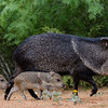 NAa377 Collared Peccary (Pecari tajacu) and Piglets, Edinburg, TX