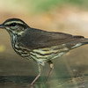 NAb7210 Northern Waterthrush (Parkesia noveboracensis), Edinburg, TX
