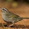 NAb7281 Olive Sparrow (Arremonops rufivirgatus), Edinburg, TX
