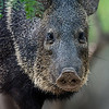 NAa522 Collared Peccary (Pecari tajacu), Edinburg, TX