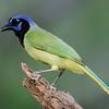 NAb7295 Green Jay (Cyanocorax luxosus), Edinburg, TX