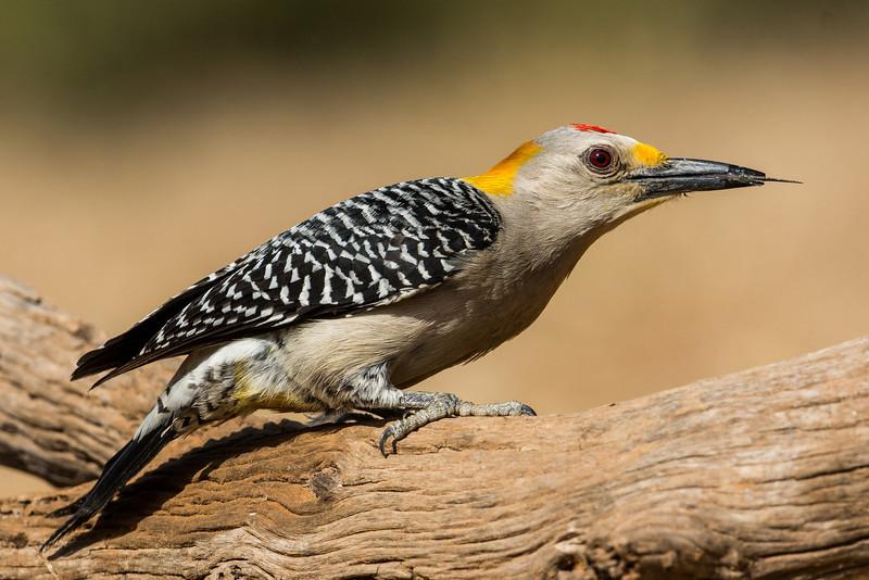 NAb7275 Golden-fronted Woodpecker (Melanerpes aurifrons), Edinburg, TX