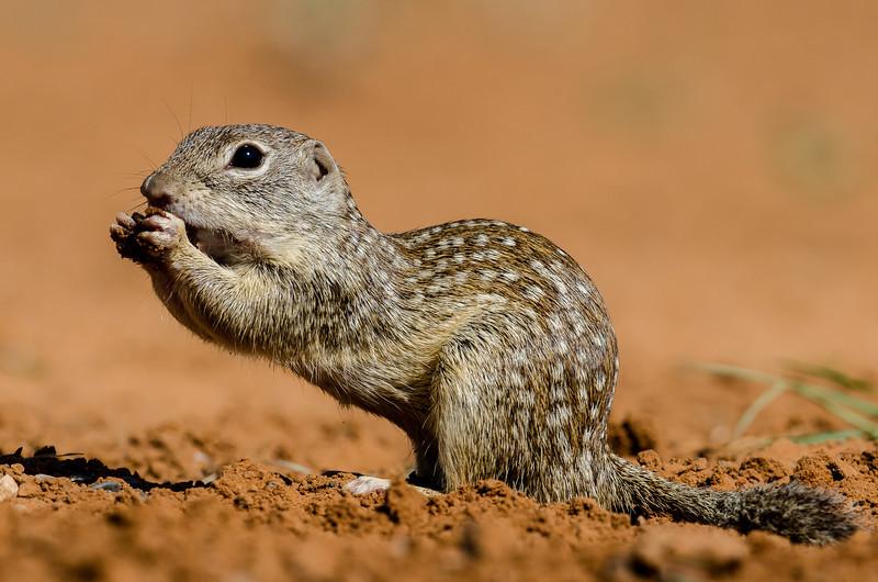 NAa796 Mexican Ground Squirrel (Spermophilus mexicanus), Edinburg, TX