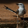NAb7267 Scissor-tailed Flycatcher (Tyrannus forficatus), Edinburg, TX