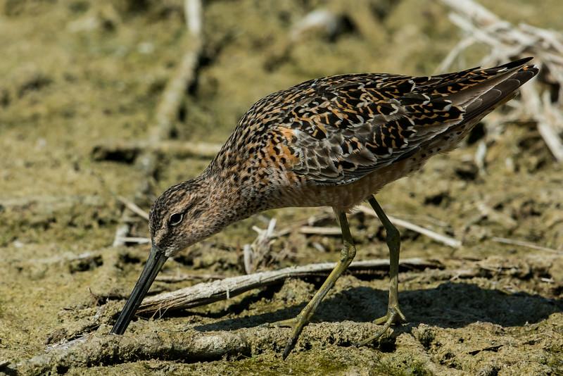 NAb7186 Short-billed Dowitcher (Limnodromus griseus), Spring, Estero Llano Grande, Weslaco, TX