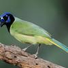NAb7294 Green Jay (Cyanocorax luxosus), Edinburg, TX