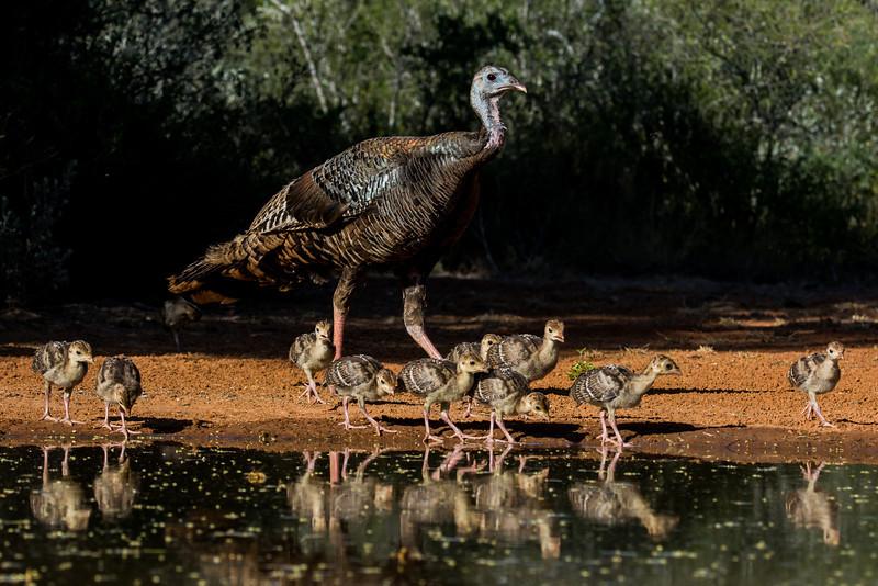 NAb7269 Wild Turkey (Meleagris gallopavo) and Poults, Edinburg, TX