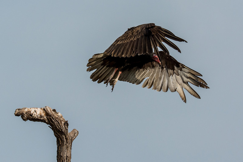 NAb7221 Turkey Vulture (Cathartes aura) Flying, Edinburg, TX