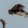 NAb7221 Turkey Vulture (Cathartes aura) Flying, Edinburg, TX