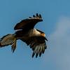 NAb7200 Crested Caracara (Caracara cheriway) Flying, Edinburg, TX