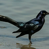 NAb7187 Great-tailed Grackle or Mexican Grackle (Quiscalus mexicanus), Spring, Estero Llano Grande, Weslaco, TX