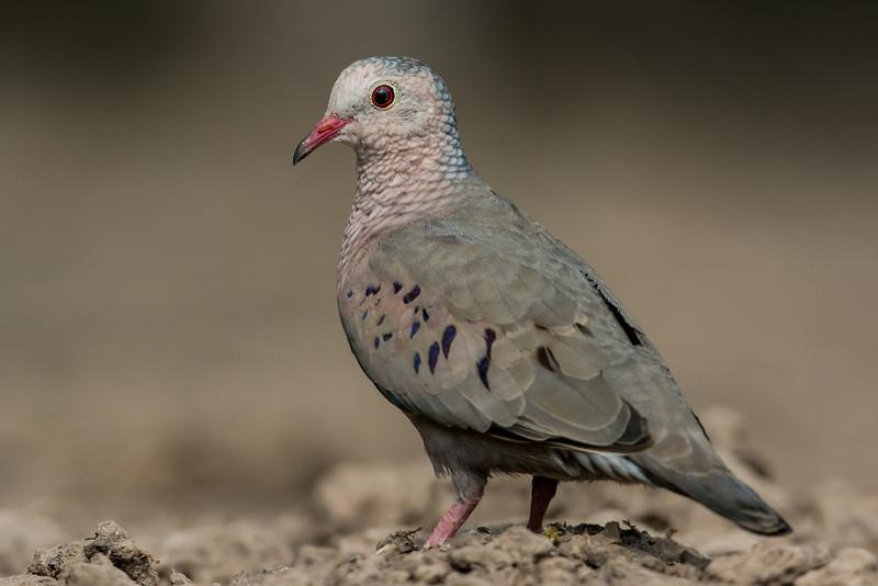 NAb7201 Common Ground Dove (Columbina passerina), Edinburg, TX