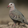 NAb7201 Common Ground Dove (Columbina passerina), Edinburg, TX
