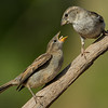 NAb7283 Olive Sparrow (Arremonops rufivirgatus) Feeding Chick, Edinburg, TX
