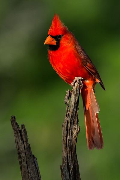NAb7240 Northern Cardinal (Cardinalis cardinalis) Male, Edinburg, TX