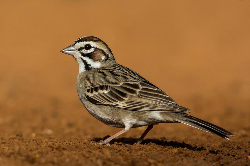 NAb7260 Lark Sparrow (Chondestes grammacus), Edinburg, TX