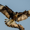 NAb7288 Crested Caracara (Caracara cheriway) Landing, Edinburg, TX