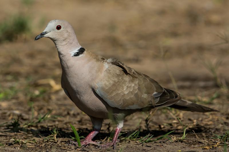 NAb7212 Eurasian Collared-Dove (Streptopelia decaocto), Edinburg, TX