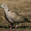 NAb7212 Eurasian Collared-Dove (Streptopelia decaocto), Edinburg, TX