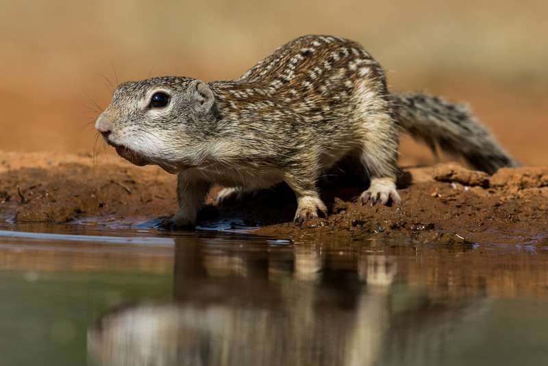 NAa711 Mexican Ground Squirrel (Spermophilus mexicanus), Edinburg, TX