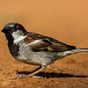 NAb7261 House Sparrow (Passer domesticus), Edinburg, TX