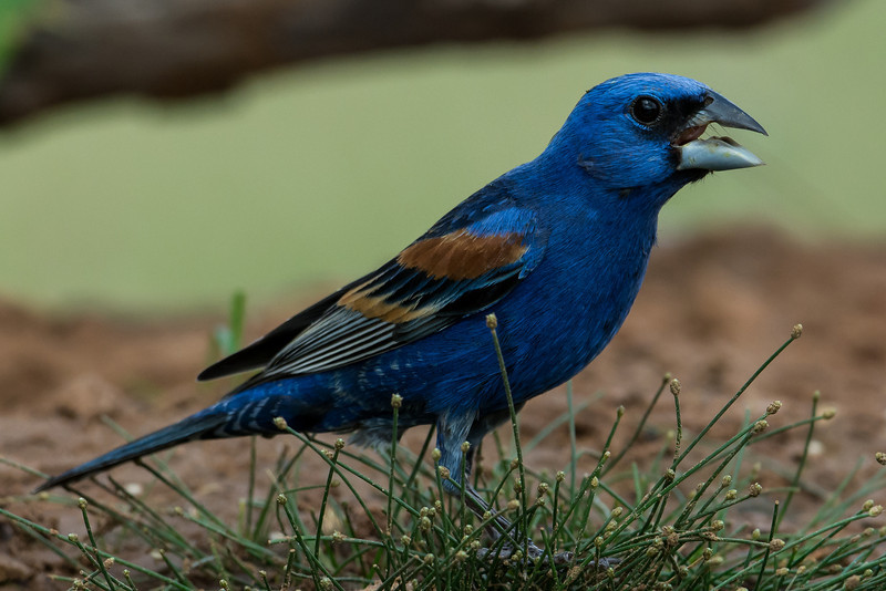 NAb7230 Blue Grosbeak (Passerina caerulea), Edinburg, TX