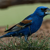 NAb7230 Blue Grosbeak (Passerina caerulea), Edinburg, TX