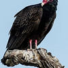 NAb7292 Turkey Vulture (Cathartes aura), Edinburg, TX