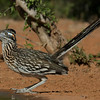NAb7266 Greater Roadrunner (Geococcyx californianus), Edinburg, TX