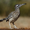 NAb7300 Greater Roadrunner (Geococcyx californianus), Edinburg, TX
