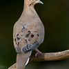 NAb6898 Mourning Dove (Zenaida macroura), Dunwoody, GA