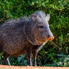 NAa411 Collared Peccary (Pecari tajacu), Edinburg, TX