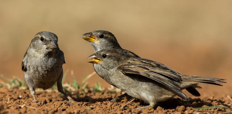 NAb7282 Olive Sparrow (Arremonops rufivirgatus) and Chicks, Edinburg, TX