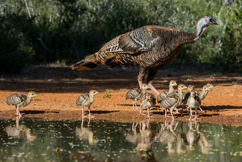 NAb7270 Wild Turkey (Meleagris gallopavo) and Poults, Edinburg, TX