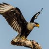 NAb7289 Crested Caracara (Caracara cheriway) Landing, Edinburg, TX