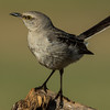 NAb7233 Mockingbird (Mimus polyglottos), Edinburg, TX