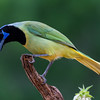 NAb7254 Green Jay (Cyanocorax luxosus), Edinburg, TX