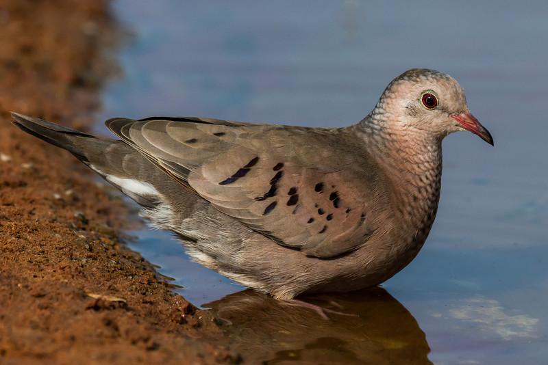 NAb7223 Common Ground Dove (Columbina passerina), Edinburg, TX