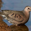 NAb7223 Common Ground Dove (Columbina passerina), Edinburg, TX